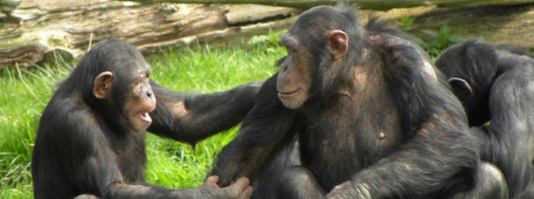 Humanity's evolutionary neighbors, chimpanzees, socialize and interact. (foshie / Flickr)
