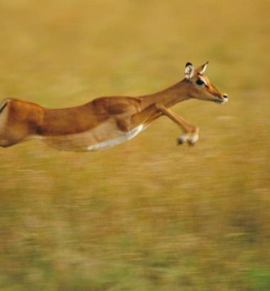 An impala in the Masai Mara National Reserve, Kenya. Photo by Frans Lanting via Corbis.