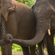 An elephant pair clasps trunks at the Elephant Nature Park in Chiang Mai, Thailand. (National Geographic Stock)